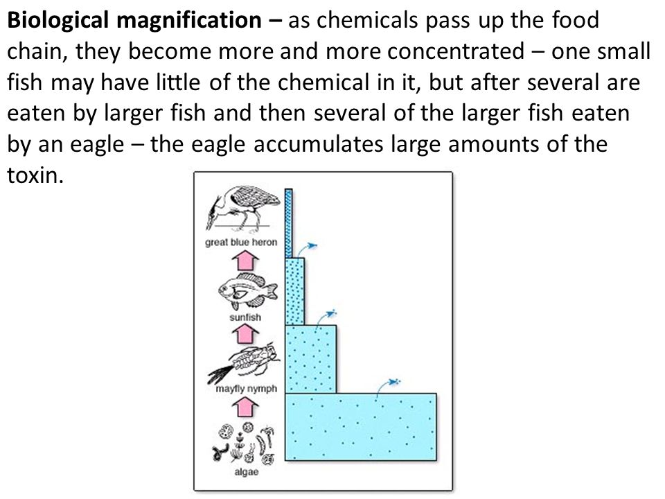 Biological magnification – as chemicals pass up the food chain, they become more and more concentrated – one small fish may have little of the chemica