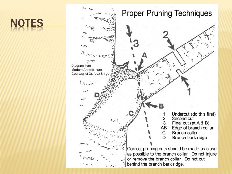  Myth: Large pruning wounds should be sealed with tar or wound dressing  Fact: Sealants prevent wound from drying and may cause disease leading to decay