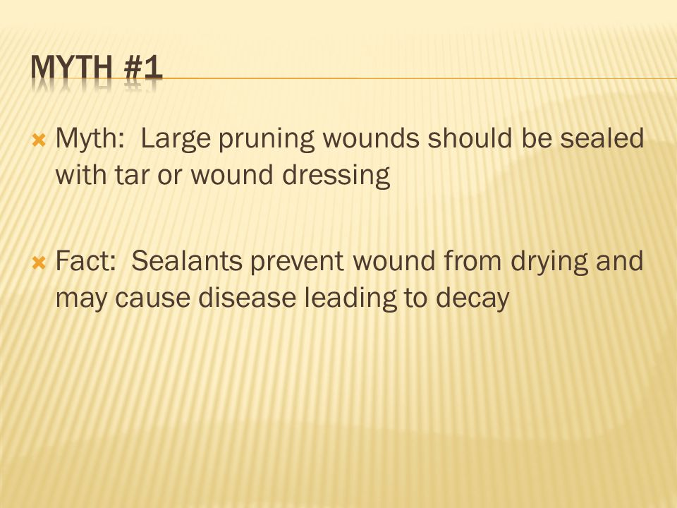  Myth: Large pruning wounds should be sealed with tar or wound dressing  Fact: Sealants prevent wound from drying and may cause disease leading to decay