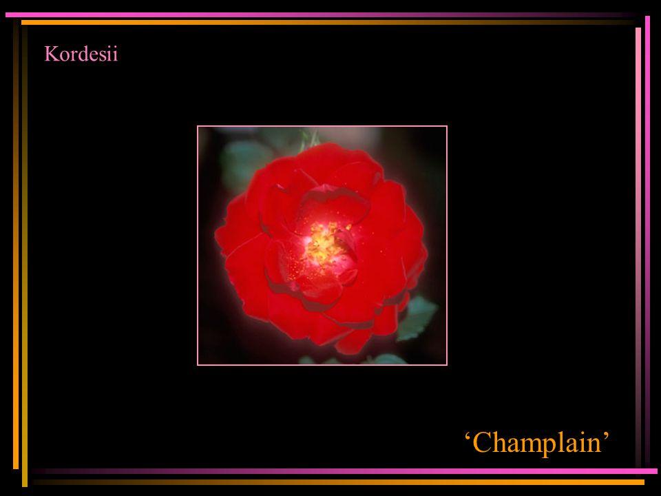 Kordesii 'Champlain'