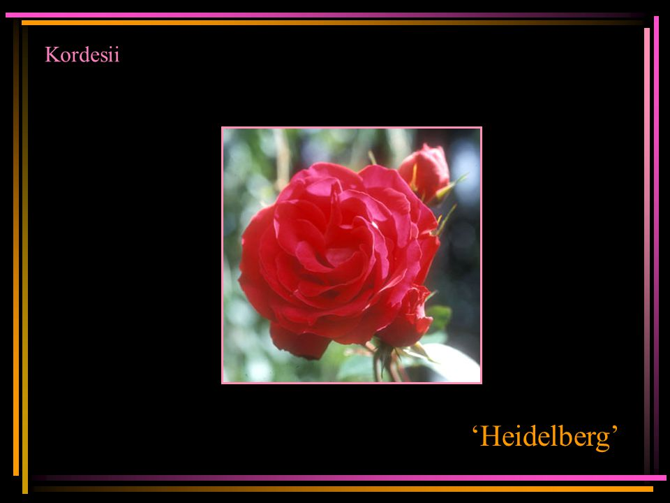 Kordesii 'Heidelberg'