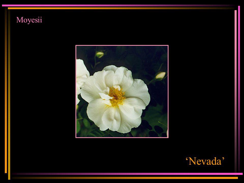 Moyesii 'Nevada'