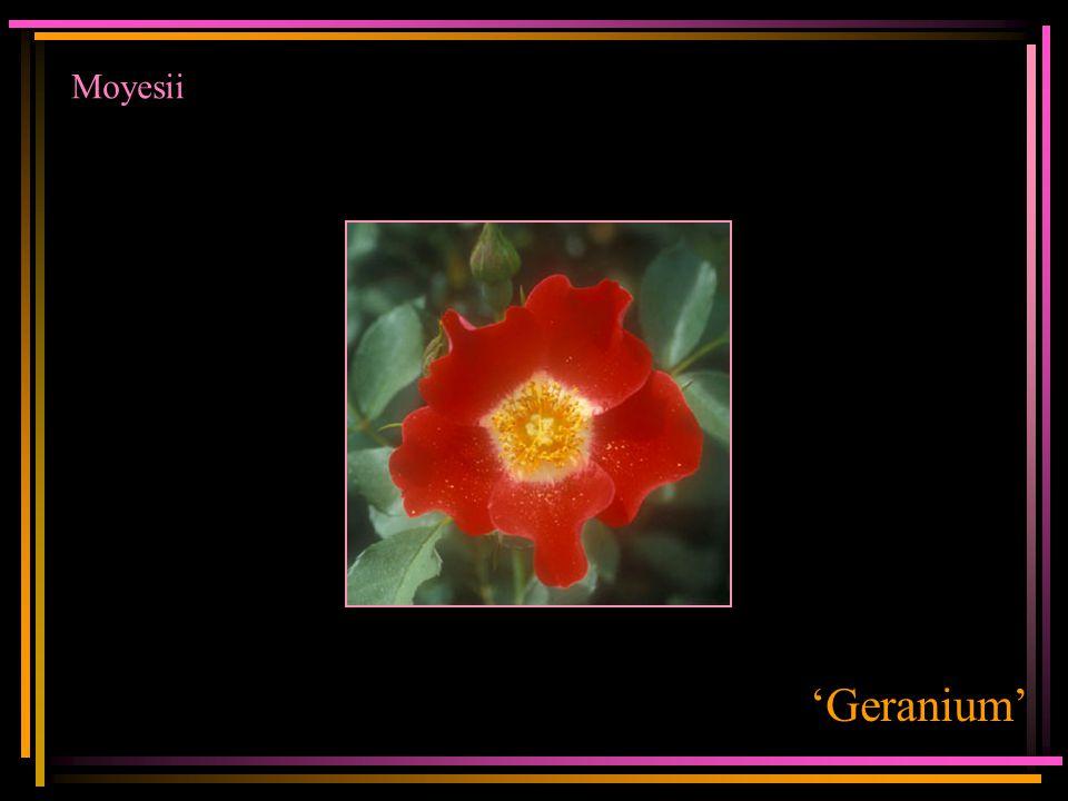 Moyesii 'Geranium'