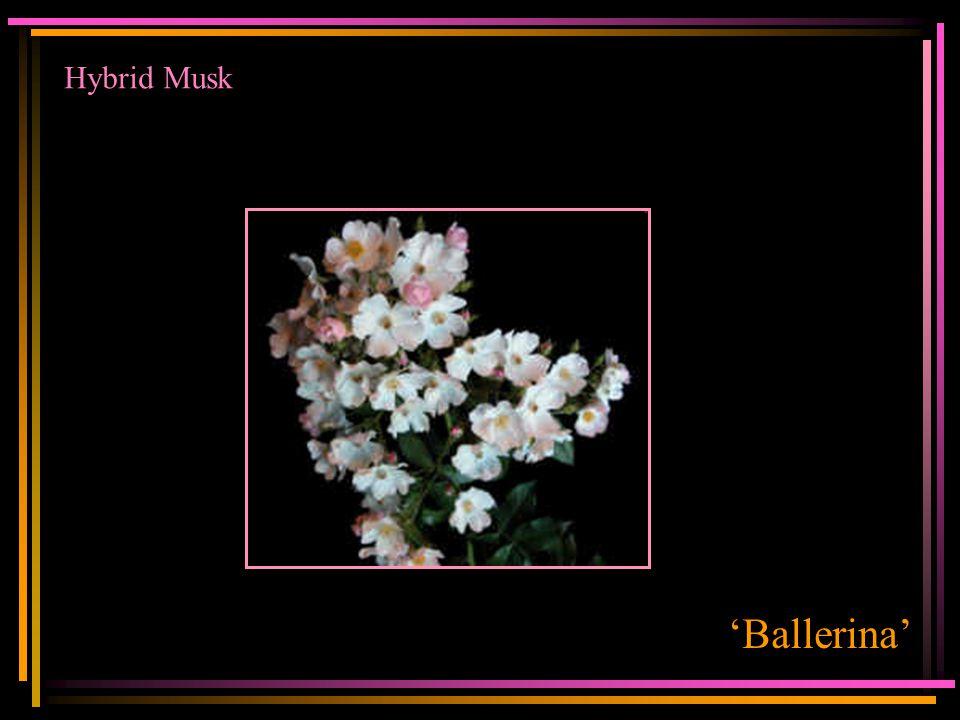 Hybrid Musk 'Ballerina'