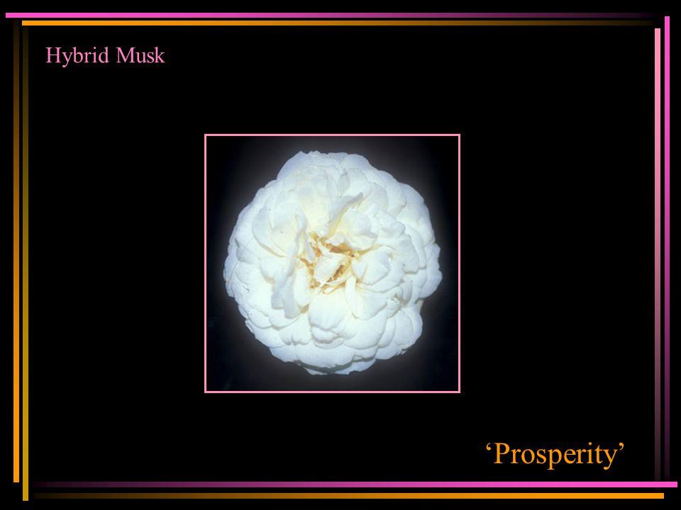 Hybrid Musk 'Prosperity'