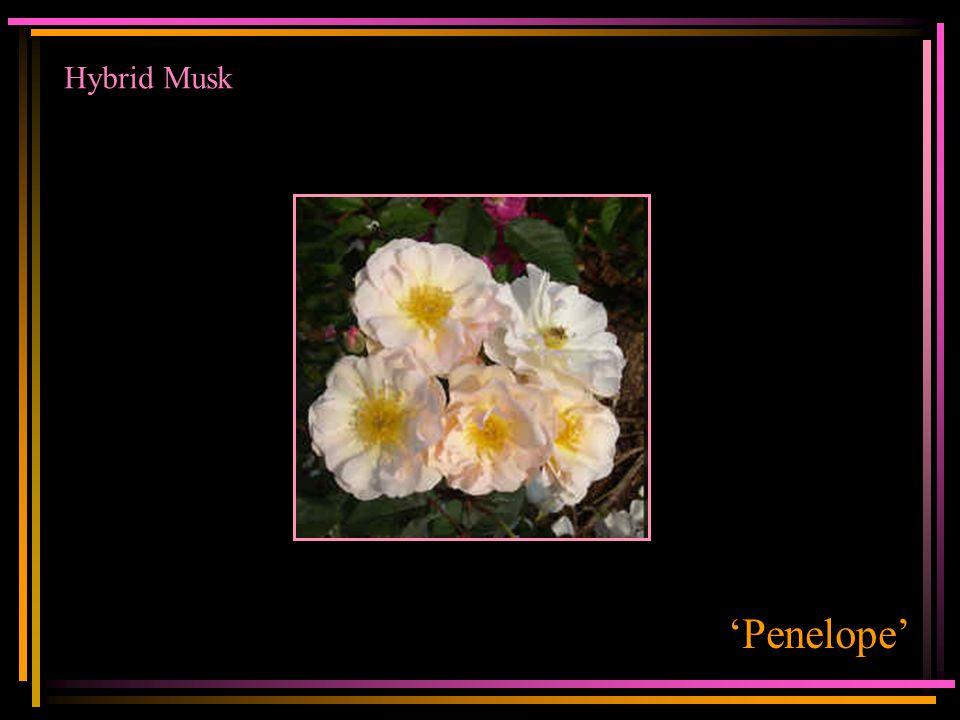 Hybrid Musk 'Penelope'