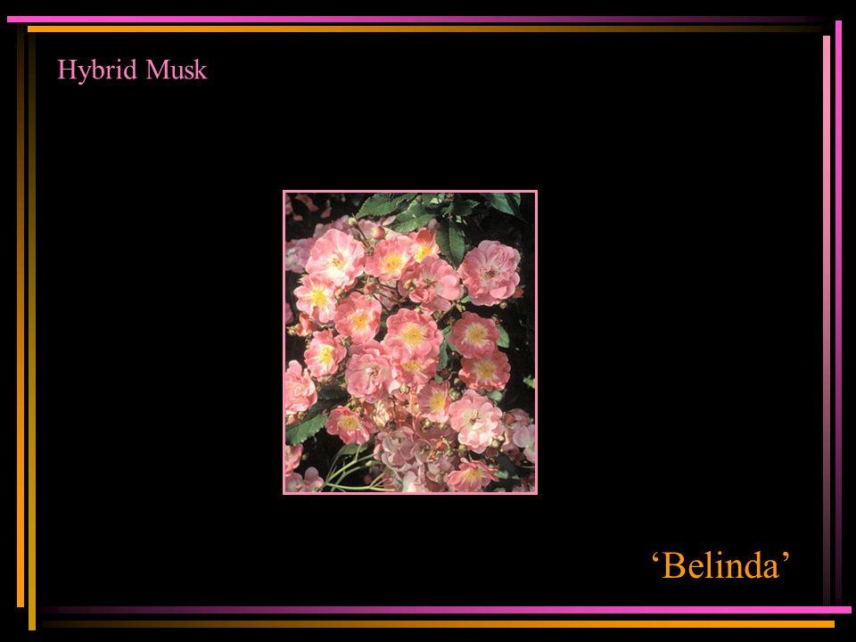 Hybrid Musk 'Belinda'