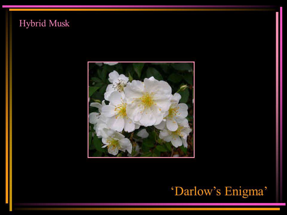 Hybrid Musk 'Darlow's Enigma'