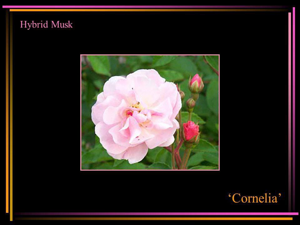 Hybrid Musk 'Cornelia'