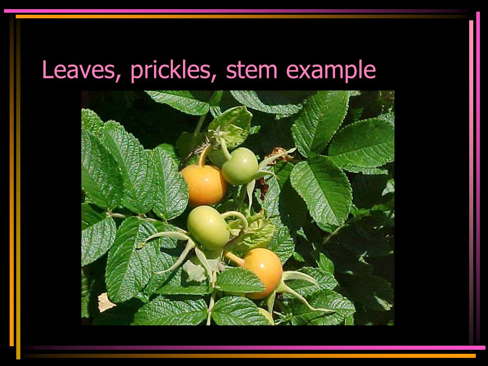 Leaves, prickles, stem example