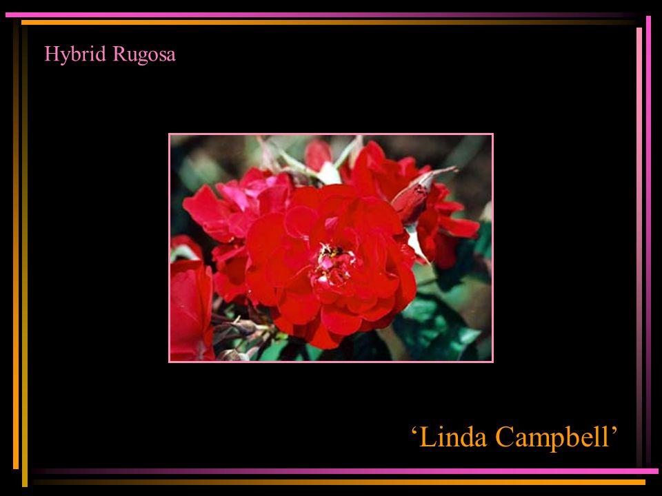 Hybrid Rugosa 'Linda Campbell'