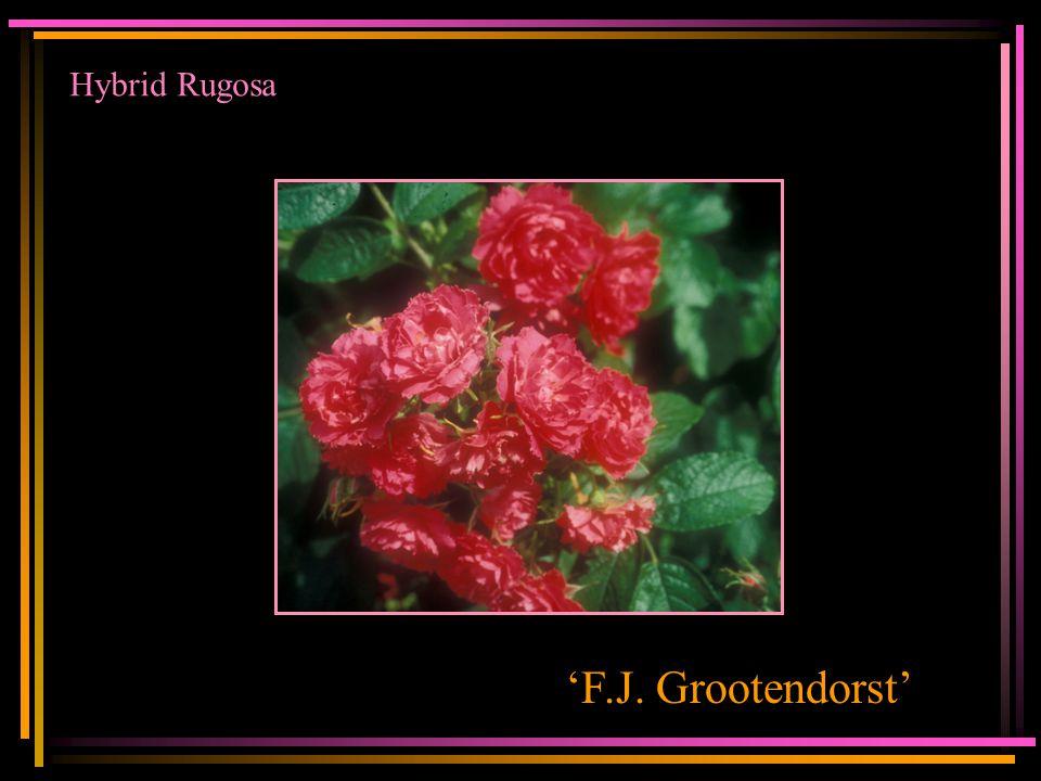 Hybrid Rugosa 'F.J. Grootendorst'