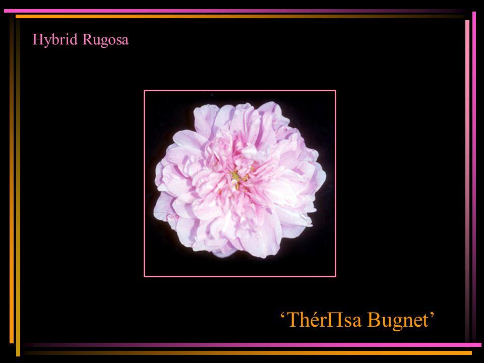 Hybrid Rugosa 'Thér P sa Bugnet'