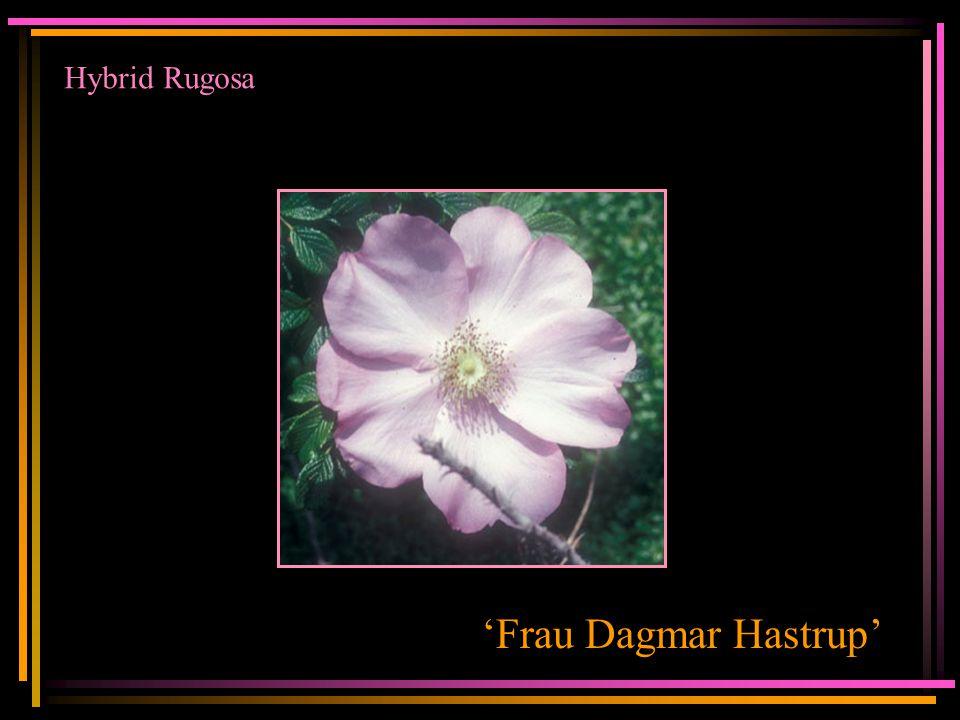 Hybrid Rugosa 'Frau Dagmar Hastrup'