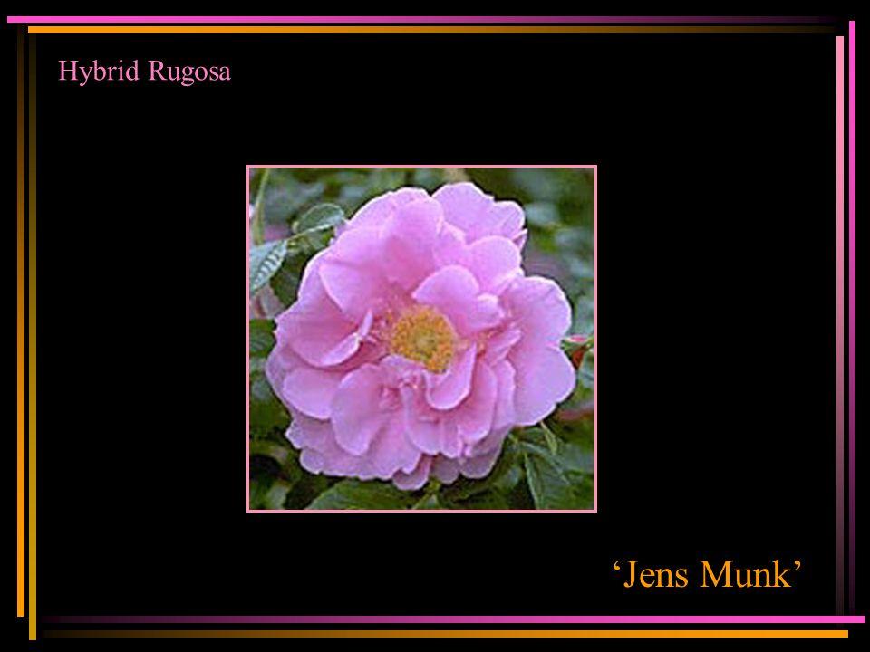 Hybrid Rugosa 'Jens Munk'