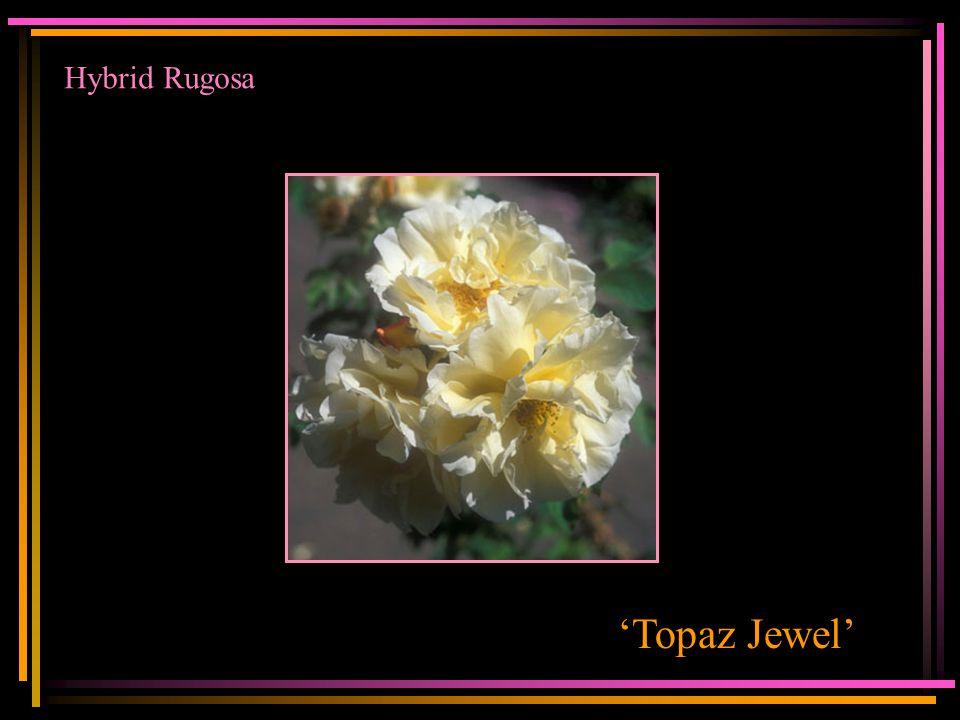 Hybrid Rugosa 'Topaz Jewel'