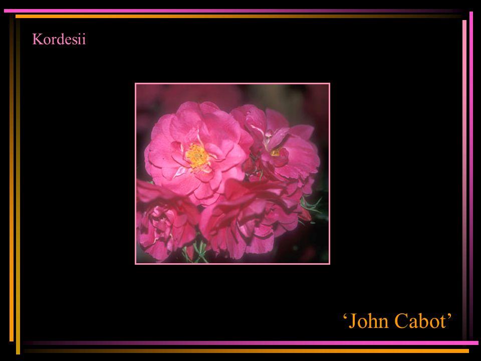 Kordesii 'John Cabot'