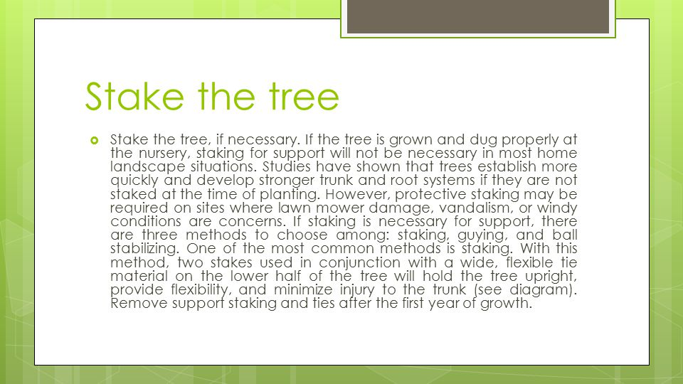 Stake the tree  Stake the tree, if necessary. If the tree is grown and dug properly at the nursery, staking for support will not be necessary in most