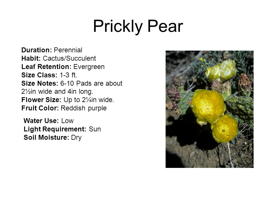Prickly Pear Duration: Perennial Habit: Cactus/Succulent Leaf Retention: Evergreen Size Class: 1-3 ft.