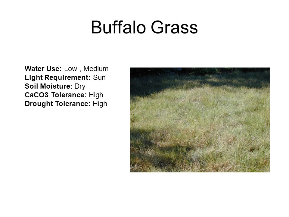 Buffalo Grass Water Use: Low, Medium Light Requirement: Sun Soil Moisture: Dry CaCO3 Tolerance: High Drought Tolerance: High