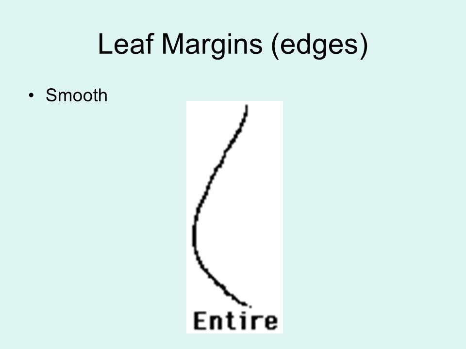 Leaf Margins (edges) Smooth