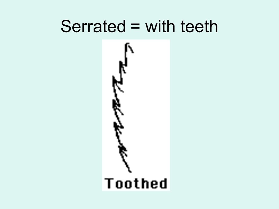 Serrated = with teeth