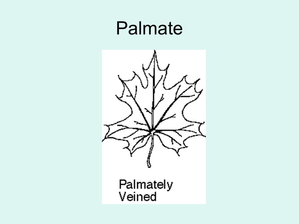Palmate