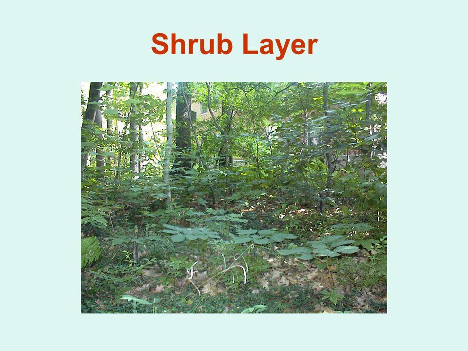 Shrub Layer