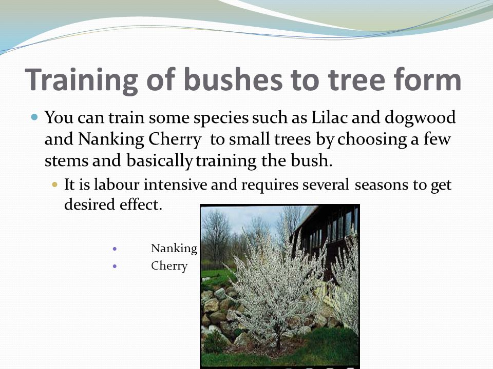 Training of bushes to tree form You can train some species such as Lilac and dogwood and Nanking Cherry to small trees by choosing a few stems and bas