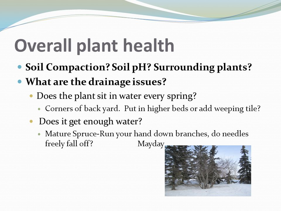 Overall plant health Soil Compaction? Soil pH? Surrounding plants? What are the drainage issues? Does the plant sit in water every spring? Corners of