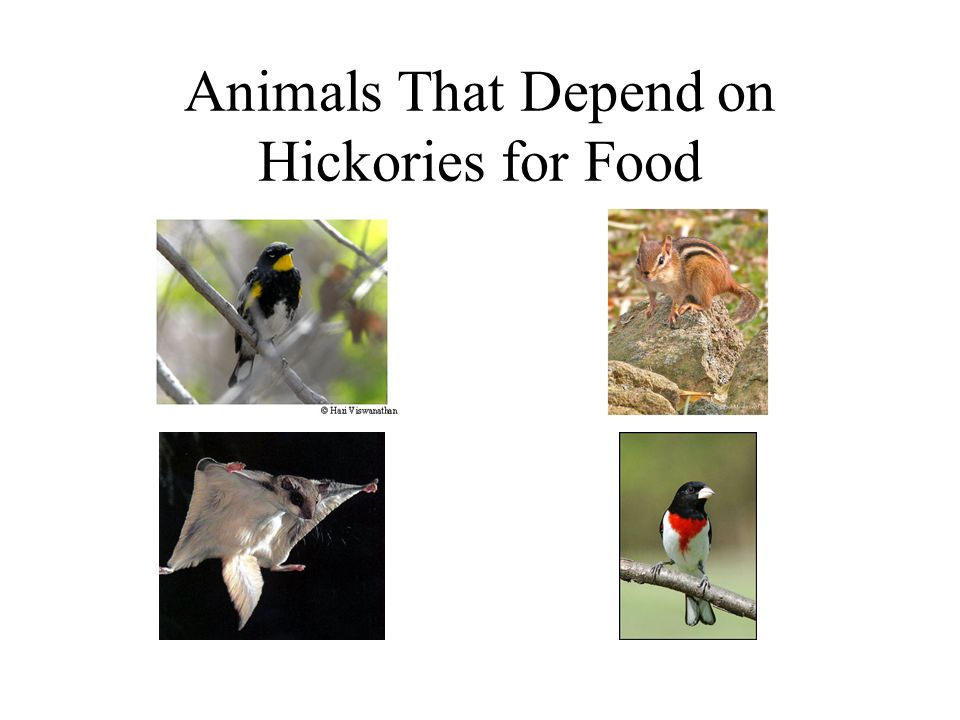 Animals That Depend on Hickories for Food