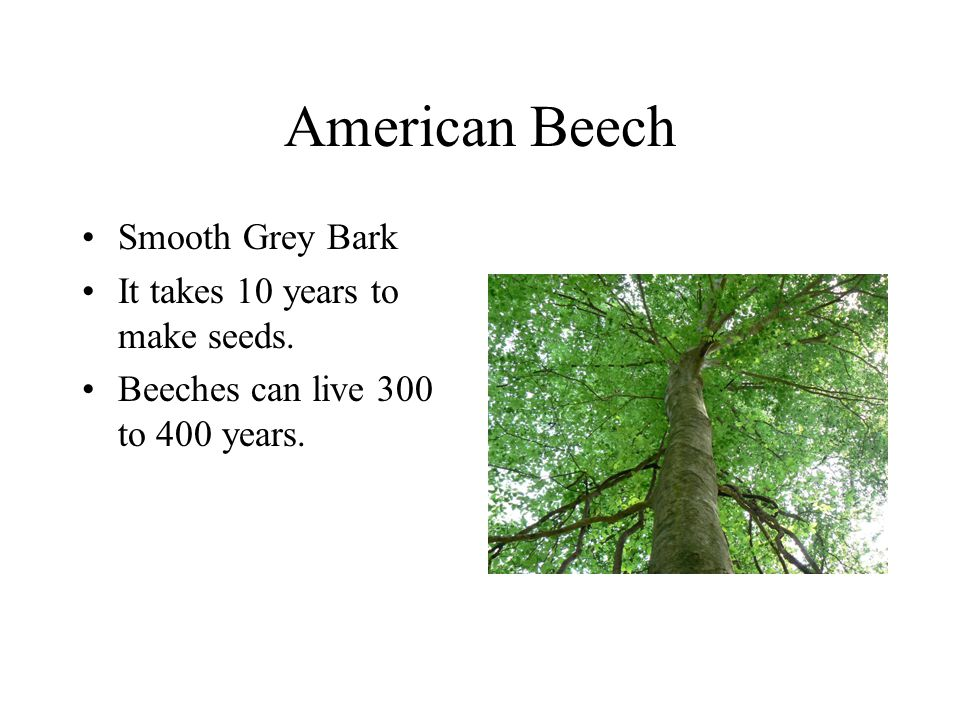 American Beech Smooth Grey Bark It takes 10 years to make seeds. Beeches can live 300 to 400 years.