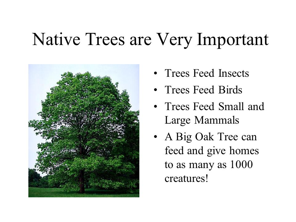 Native Trees are Very Important Trees Feed Insects Trees Feed Birds Trees Feed Small and Large Mammals A Big Oak Tree can feed and give homes to as many as 1000 creatures!