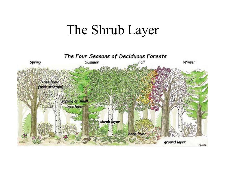 The Shrub Layer