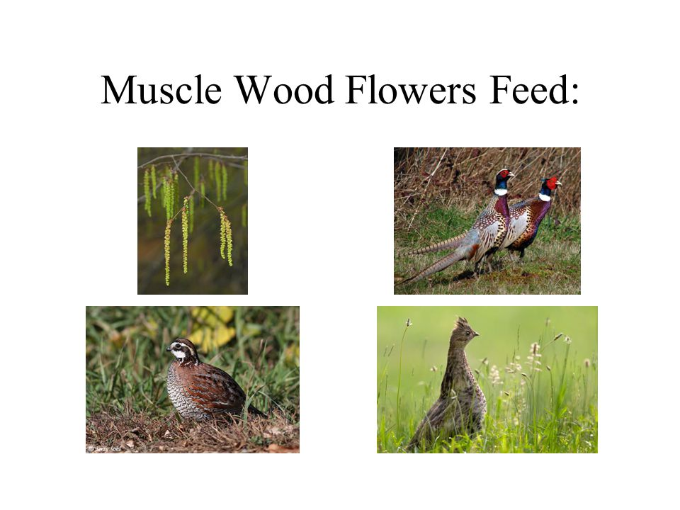 Muscle Wood Flowers Feed: