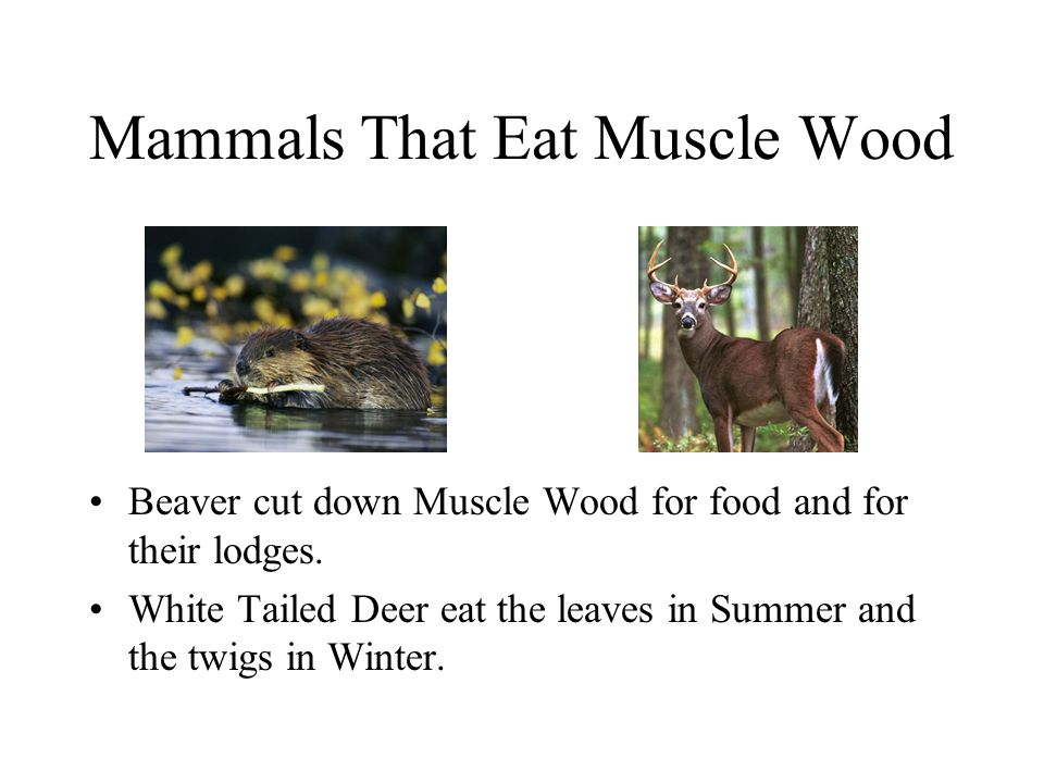 Mammals That Eat Muscle Wood Beaver cut down Muscle Wood for food and for their lodges. White Tailed Deer eat the leaves in Summer and the twigs in Wi