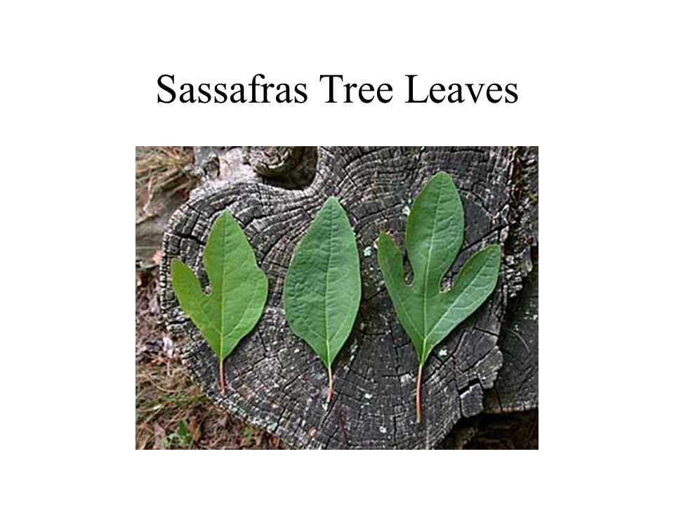 Sassafras Tree Leaves