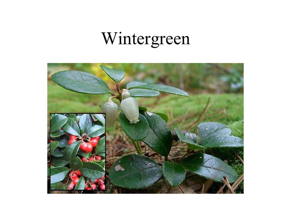 Wintergreen