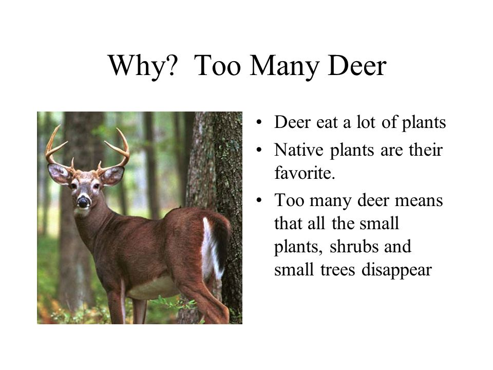 Why? Too Many Deer Deer eat a lot of plants Native plants are their favorite. Too many deer means that all the small plants, shrubs and small trees di