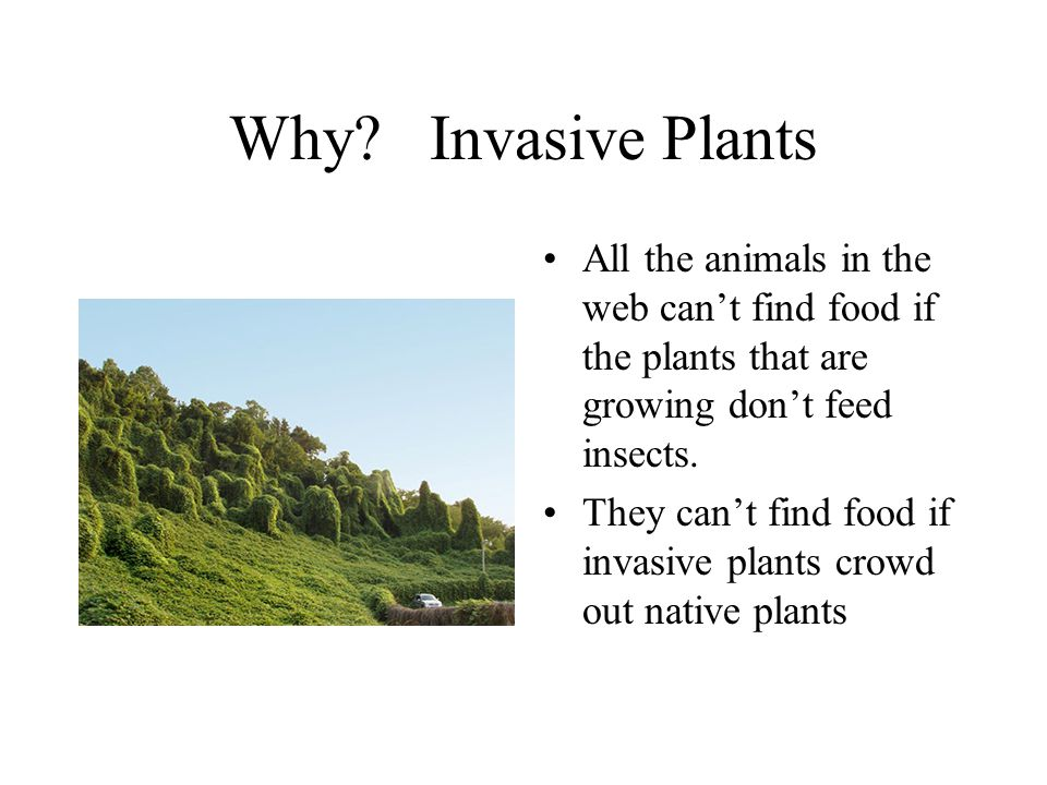 Why? Invasive Plants All the animals in the web can't find food if the plants that are growing don't feed insects. They can't find food if invasive pl