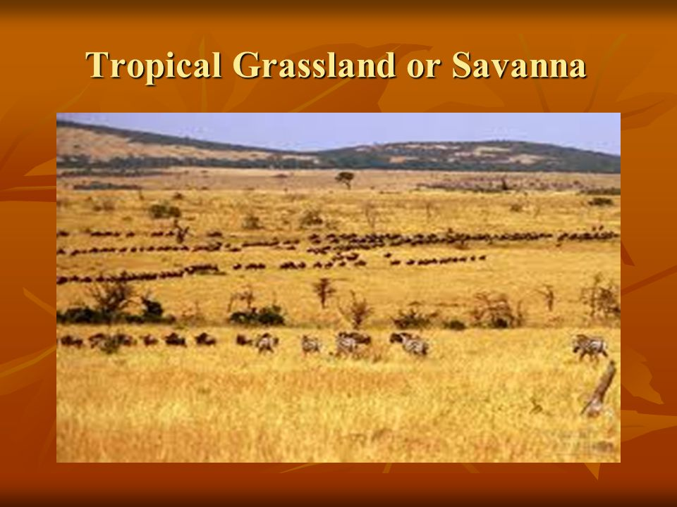 Tropical Grassland or Savanna