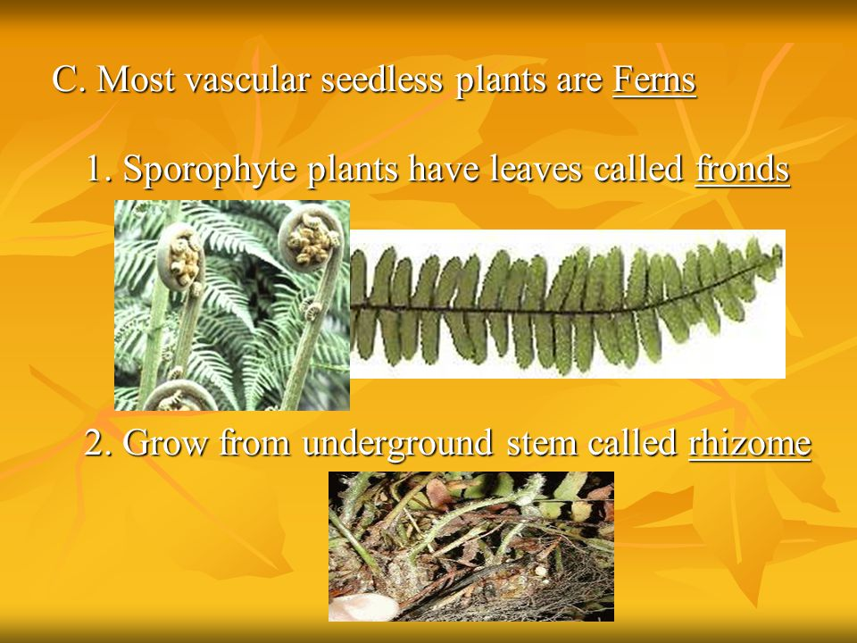C. Most vascular seedless plants are Ferns 1. Sporophyte plants have leaves called fronds 2. Grow from underground stem called rhizome