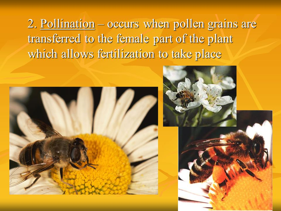 2. Pollination – occurs when pollen grains are transferred to the female part of the plant which allows fertilization to take place