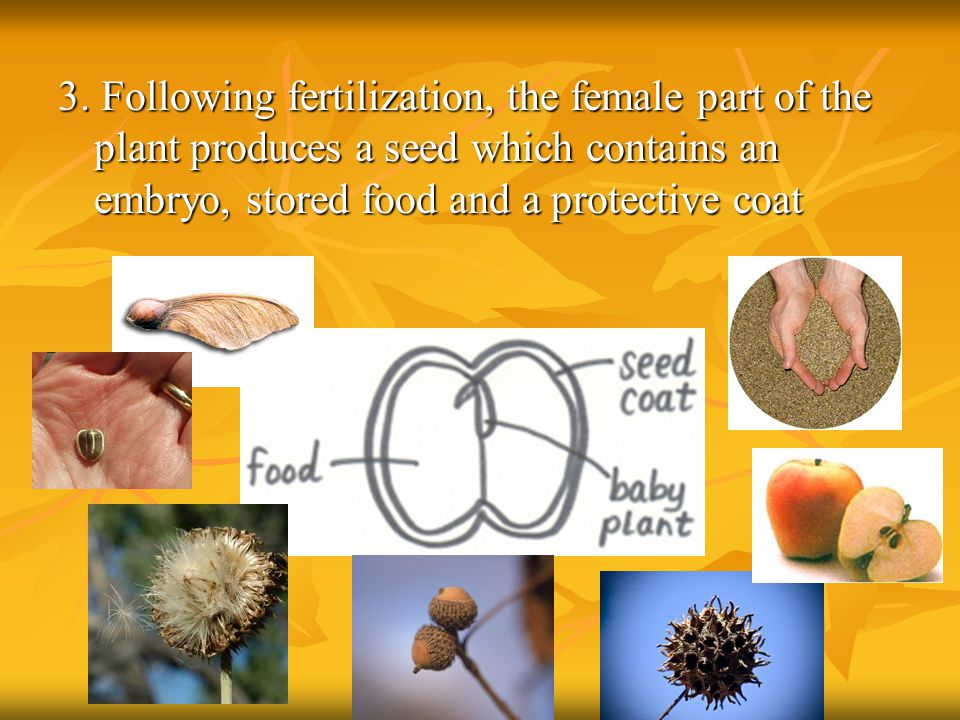3. Following fertilization, the female part of the plant produces a seed which contains an embryo, stored food and a protective coat
