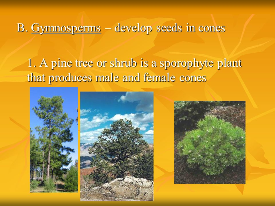 B. Gymnosperms – develop seeds in cones 1. A pine tree or shrub is a sporophyte plant that produces male and female cones