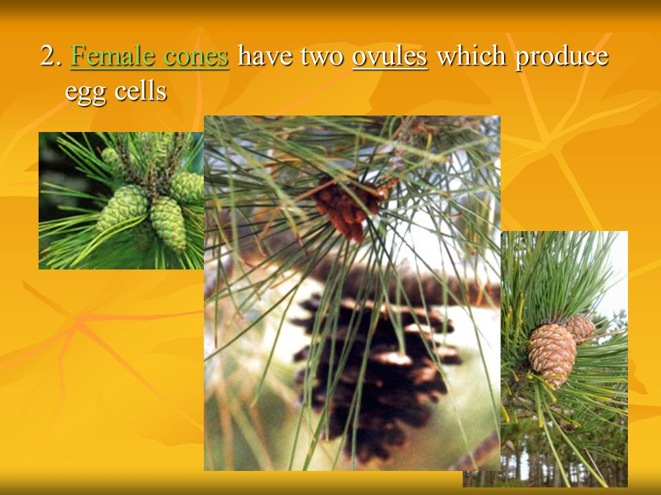2. Female cones have two ovules which produce egg cells