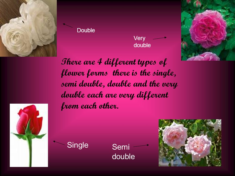 There are 4 different types of flower forms there is the single, semi double, double and the very double each are very different from each other.