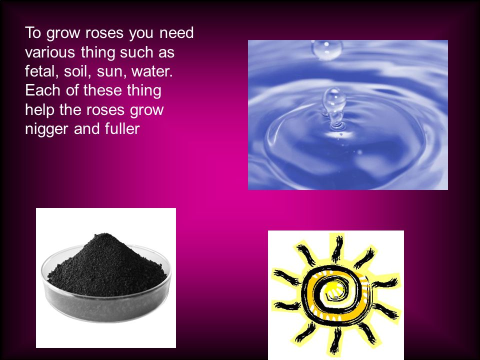 Fertile Water Sun To grow roses you need various thing such as fetal, soil, sun, water.