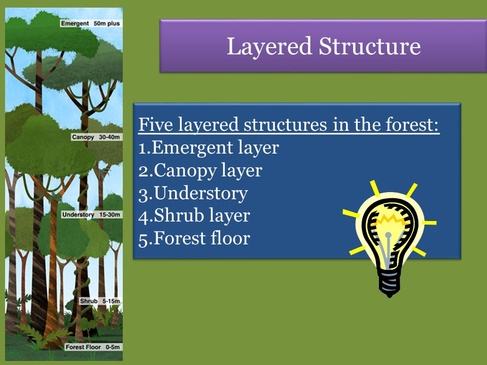 Layered Structure Five layered structures in the forest: 1.Emergent layer 2.Canopy layer 3.Understory 4.Shrub layer 5.Forest floor Five layered struct