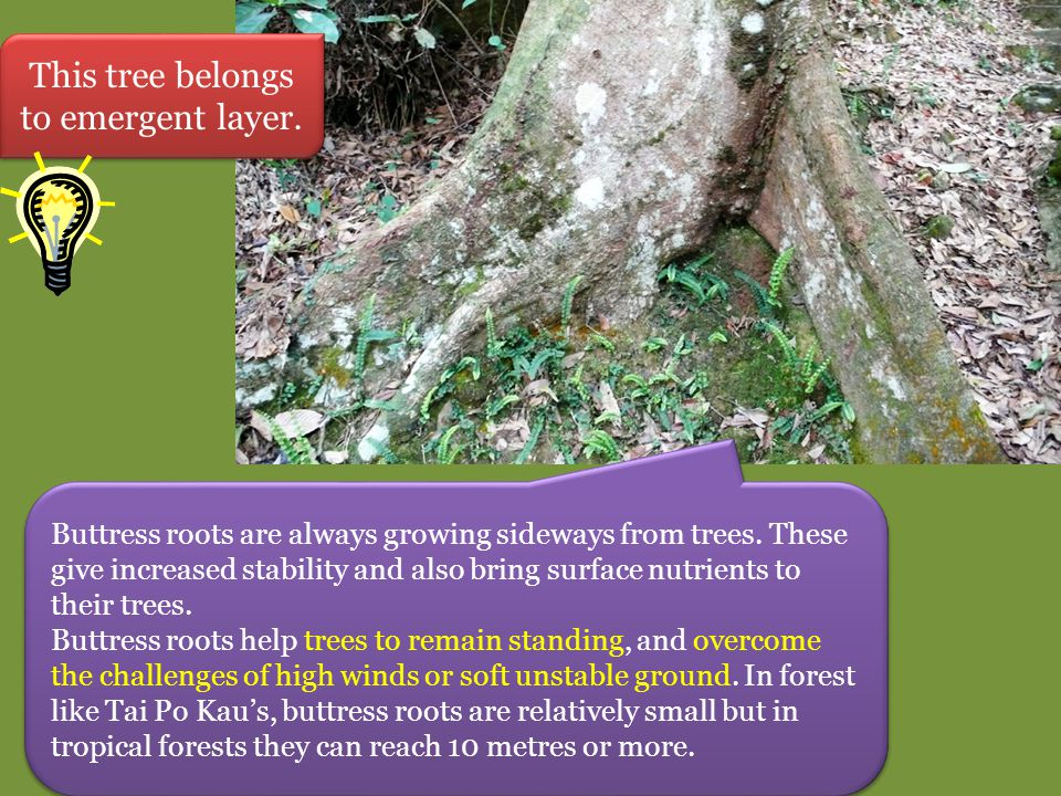 Buttress roots are always growing sideways from trees. These give increased stability and also bring surface nutrients to their trees. Buttress roots